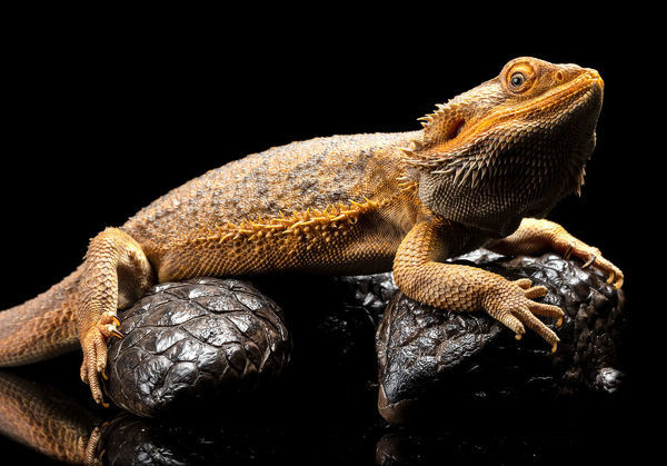 studio photograph of an Australian Water Dragon sitting on a Shingleback Skink against a black background