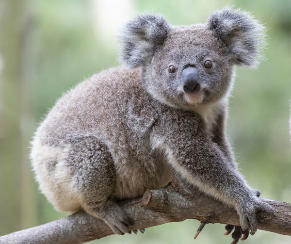 The koala (Phascolarctos cinereus, or, inaccurately, koala bear[a]) is an arboreal herbivorous marsupial native to Australia. It is the only extant representative of the family Phascolarctidae and its closest living relatives are the wombats