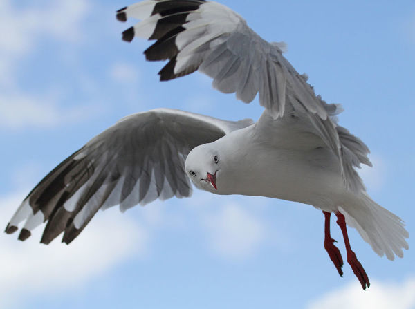 Red-billed Gull in flight against sky