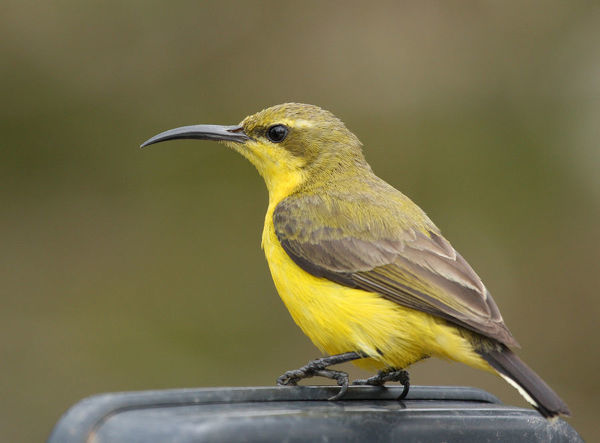 Side view of female olive-backed sunbird sitting on top of car mirror, Julatten, Queensland