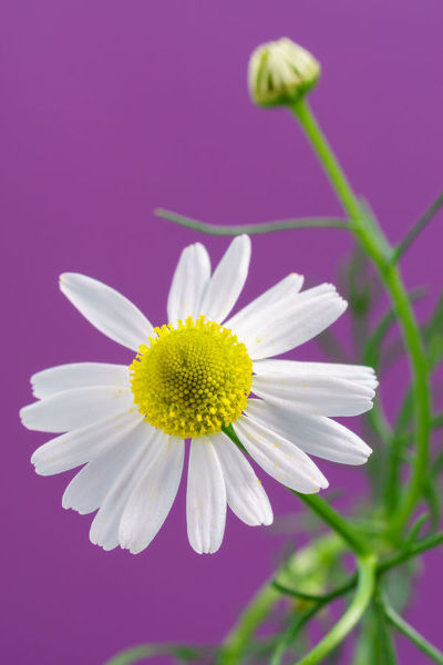 Chamomile flower. The flowers of a Chamomile plant photographed against