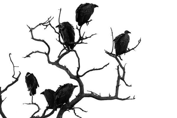Semi-silhouetted shot of several vultures perched in the branches of a dead tree