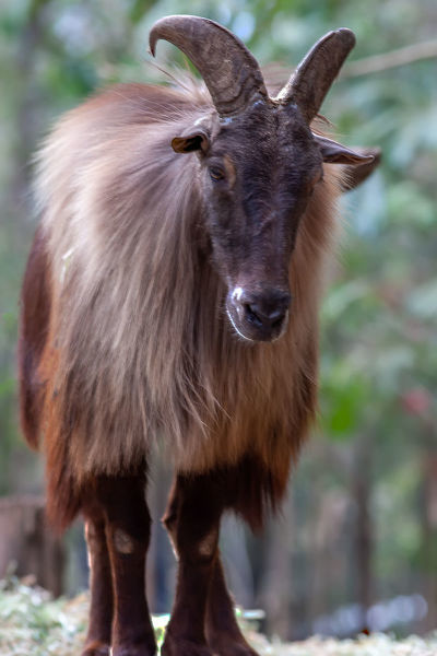 Himalayan Tahr. The Himilayan Tahr is on the endangered species list