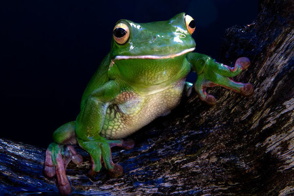 A white lipped tree frog perched in the bow of a piece of wood. It has a black background