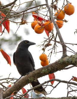 photographers/louise docker photography/currawong persimmon tree