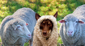 photographers/louise docker photography aussie kelpie diva dog/dog disgused sheep