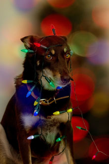 photographers/louise docker photography aussie kelpie diva dog/hanging christmas lights
