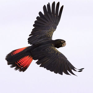 animals/birds/red tailed black cockatoo flight