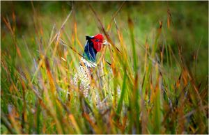 travel/southern lightscapes australia/ring necked pheasant king island bass strait