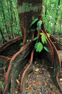 travel/queensland qld daintree region/roots rainforest giant tree mossman gorge daintree