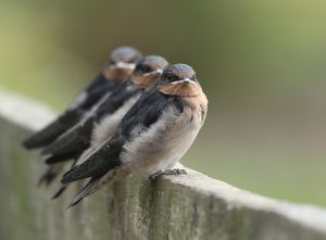 animals/birds/welcome swallows